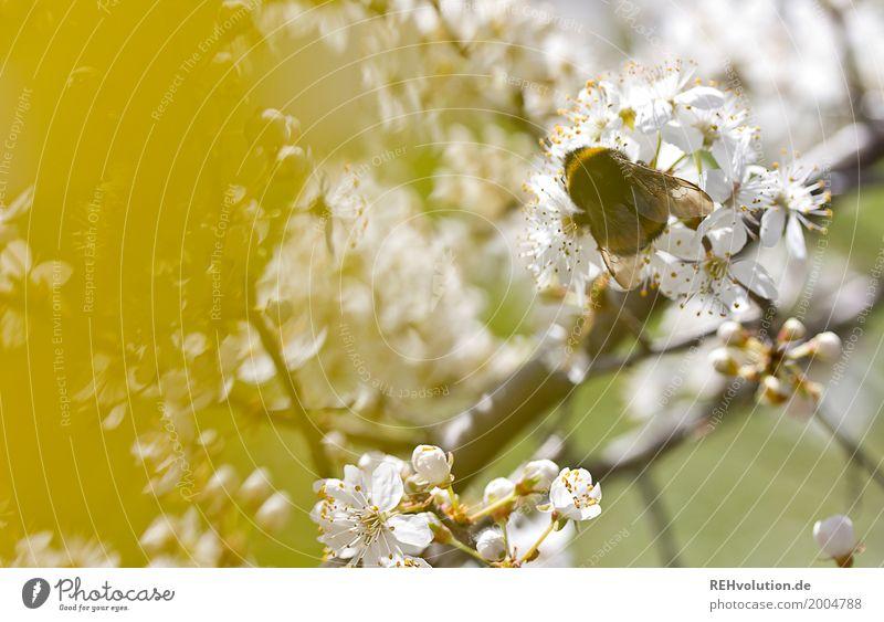 Frühling mit Hummel Umwelt Natur Pflanze Baum Sträucher Blüte Garten Park Insekt dick natürlich gelb weiß Zweig Nektar Farbfoto Außenaufnahme Nahaufnahme