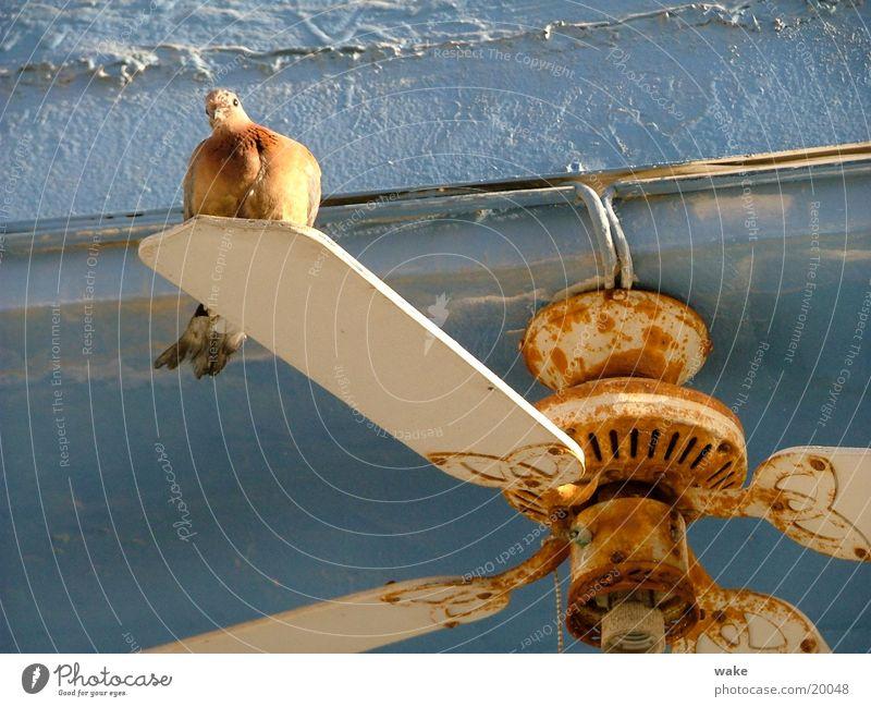 Flying Rotations Taube Ventilator weiß stagnierend Friedenstaube Israel Tel Aviv Luft drehen Verkehr blau Rost Bewegung alt Wind fliegen