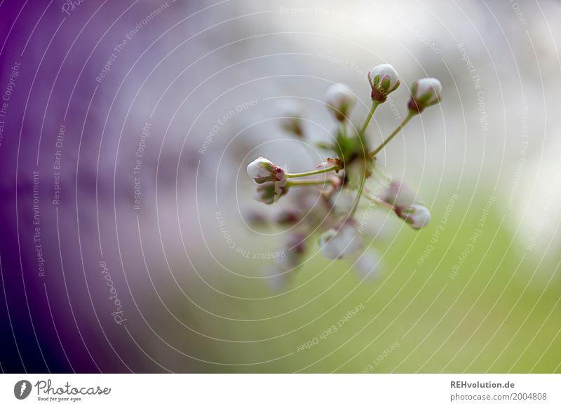 Knospen Ostern Umwelt Natur Pflanze Frühling Baum Sträucher Blüte Blühend Wachstum ästhetisch schön grün violett Blütenknospen Zweig Farbfoto Außenaufnahme