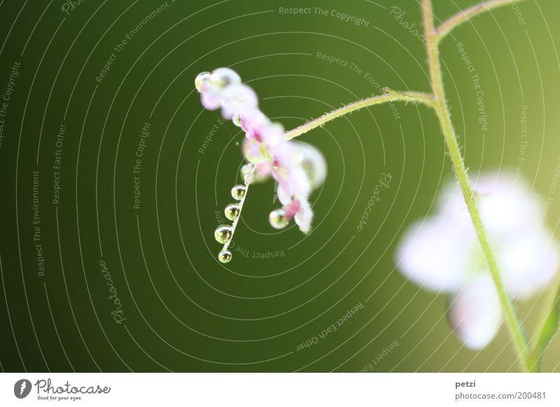 Filigrane Eleganz Natur Pflanze Wassertropfen Blume Blühend Duft einfach elegant klein nah nass natürlich schön mehrfarbig grün violett rosa weiß Reinheit