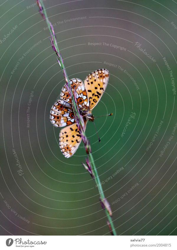 Balance Natur Sommer grün Tier Wiese Gras braun orange Zufriedenheit ästhetisch Perspektive Flügel Neigung festhalten Symbole & Metaphern Insekt