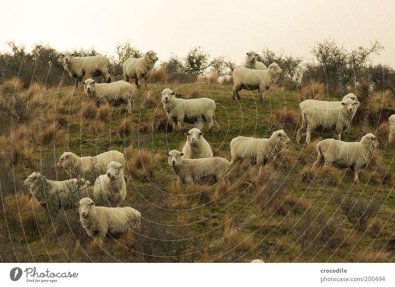 New Zealand 61 (mäh mäh) Umwelt Natur Landschaft Pflanze Gras Sträucher Wiese Feld Hügel Tier Nutztier Schaf Tiergruppe Herde beobachten Fressen stehen dick