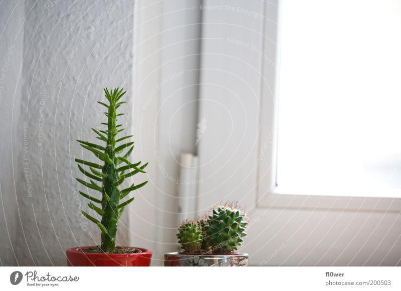 lang & staksiger Kaktus sucht klein & stacheligen Partner grün weiß Sonne rot Fenster Wand einzigartig dick silber Konkurrenz Blumentopf Grünpflanze