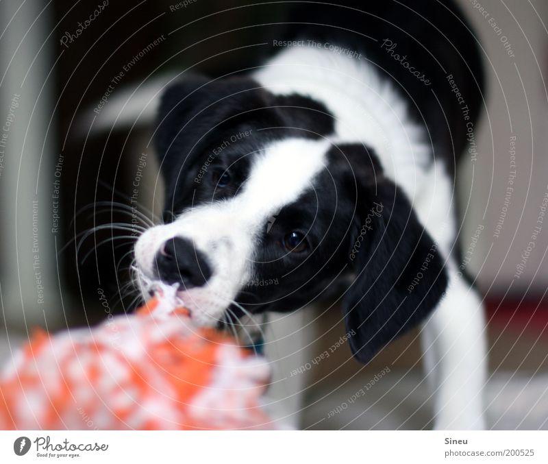 Gib ! Das ! Her ! schön weiß Freude schwarz Tier Spielen Bewegung Hund Kraft lustig Tiergesicht Lebensfreude Spielzeug niedlich frech Welpe