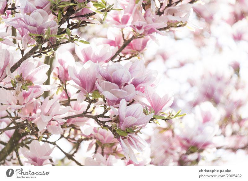 Frühlingsgefühle - durch die Blume gesprochen Pflanze Schönes Wetter Baum Blatt Blüte Garten Blühend hell schön Mandelblüte Magnoliengewächse Farbfoto