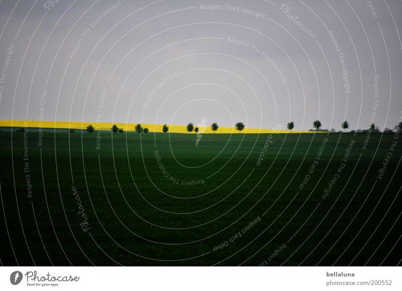 Rhapsodie in Grün moll Umwelt Natur Pflanze Wolkenloser Himmel Wetter Schönes Wetter Nutzpflanze Feld blau gelb grau grün Raps Baum Landschaft Landwirtschaft