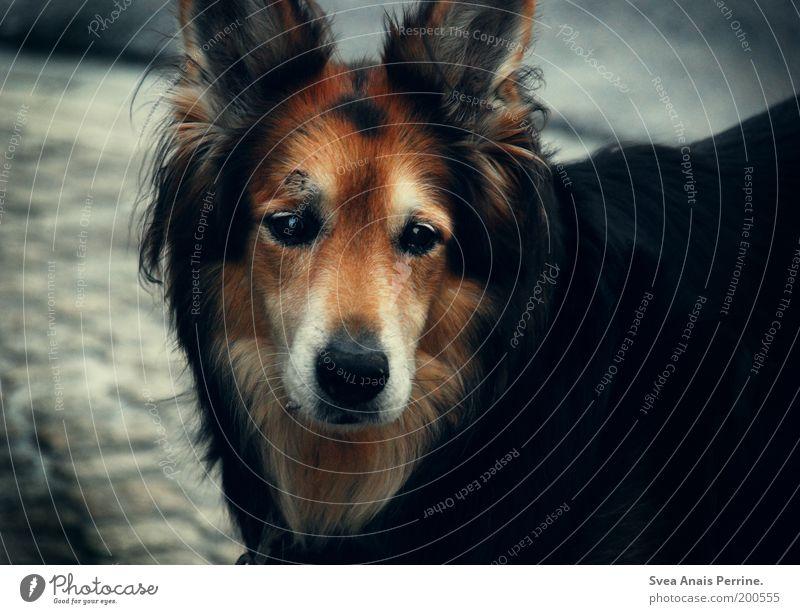 in gedenken an. Fell schwarzhaarig brünett rothaarig langhaarig Haustier Hund 1 Tier beobachten Blick warten dunkel wild weich braun Gefühle Stimmung Mut