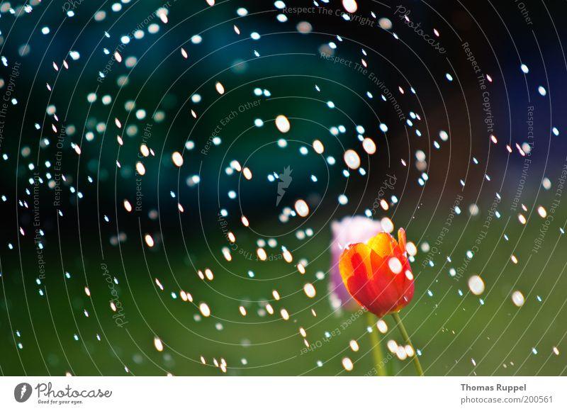 Tulpe im Regen Natur Landschaft Pflanze Wasser Wassertropfen Wetter Schönes Wetter Blume Blüte Grünpflanze Tropfen Garten Park nass schön grün rosa rot Farbfoto