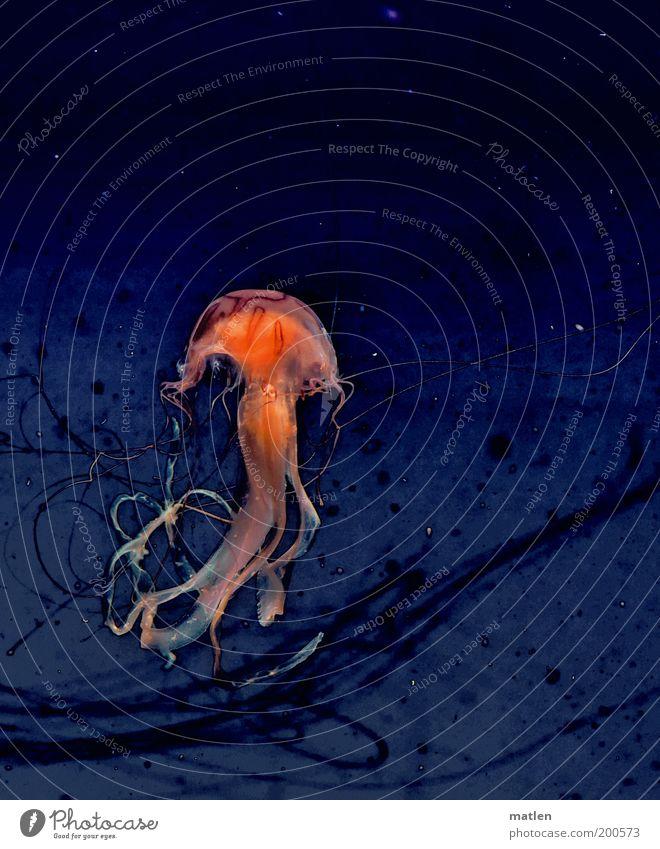 Elegance Tier Qualle Zoo Aquarium 1 Wasser Bewegung Tanzen fantastisch blau rot ästhetisch elegant Farbfoto Innenaufnahme Unterwasseraufnahme Textfreiraum oben