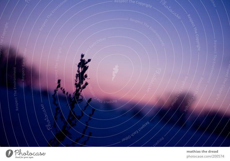 ABENDROMATIK Natur Himmel Pflanze Winter ruhig dunkel kalt Schnee Wiese Gras Landschaft Feld Umwelt Sträucher weich violett