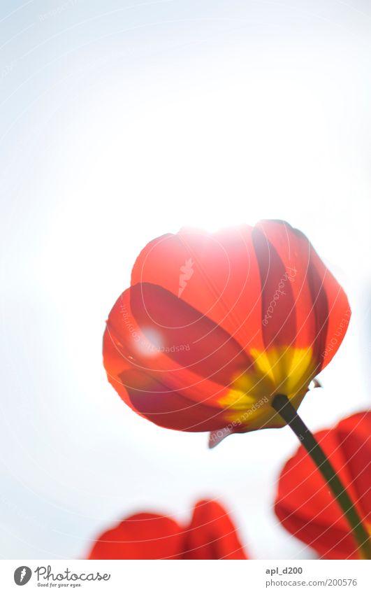 plower fower Umwelt Natur Pflanze Luft Himmel Sonne Frühling Schönes Wetter Tulpe leuchten ästhetisch nachhaltig gelb grün rot beweglich Leben Blumenbeet Garten