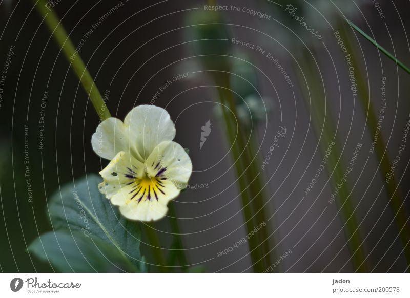 für ..... Blume Pflanze Blüte Frühling elegant geheimnisvoll niedlich Stiefmütterchen Stiefmütterchenblüte