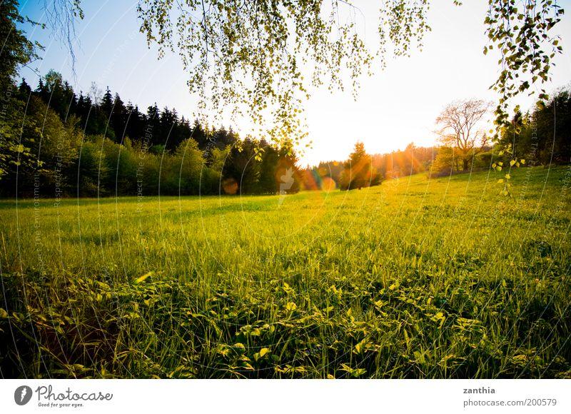 Frühling Umwelt Natur Landschaft Pflanze Sonne Sonnenaufgang Sonnenuntergang Sonnenlicht Schönes Wetter Gras Wiese Feld Wald hell natürlich Wärme gelb gold grün
