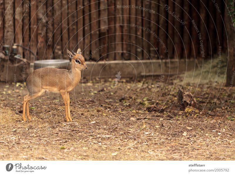 Cavendishs dik nannte Madoqua kirkii cavendish Natur Tier klein wild Wildtier Säugetier