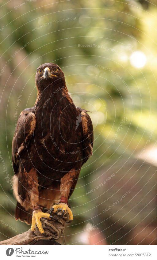 Steinadler Aquila chrysaetos mit hellen Augen Tier Vogel Tiergesicht Flügel 1 braun gold Adler Greifvogel Raptor Raubtier Schnabel Adleraugen Jäger Wildvogel