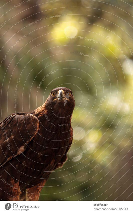 Steinadler Aquila chrysaetos Tier Wildtier Vogel Tiergesicht 1 braun Adler Greifvogel Raptor Raubtier Schnabel Adleraugen Jäger Wildvogel Tierwelt Farbfoto
