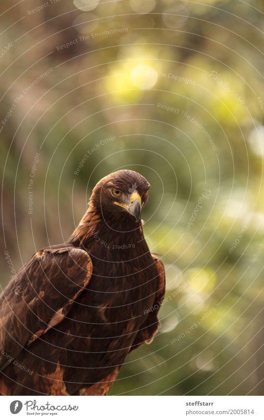 Steinadler Aquila chrysaetos Tier Wildtier Vogel 1 braun Adler Greifvogel Raptor Raubtier Schnabel Adleraugen Jäger Wildvogel Tierwelt Farbfoto Menschenleer