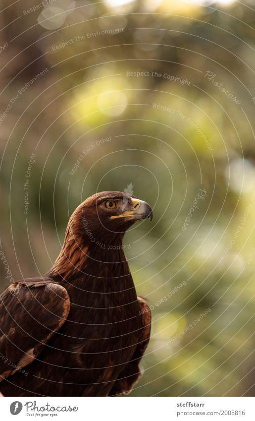 Steinadler Aquila chrysaetos Tier Vogel Tiergesicht 1 braun Adler Greifvogel Raptor Raubtier Schnabel Adleraugen Jäger Wildvogel Tierwelt Farbfoto Menschenleer