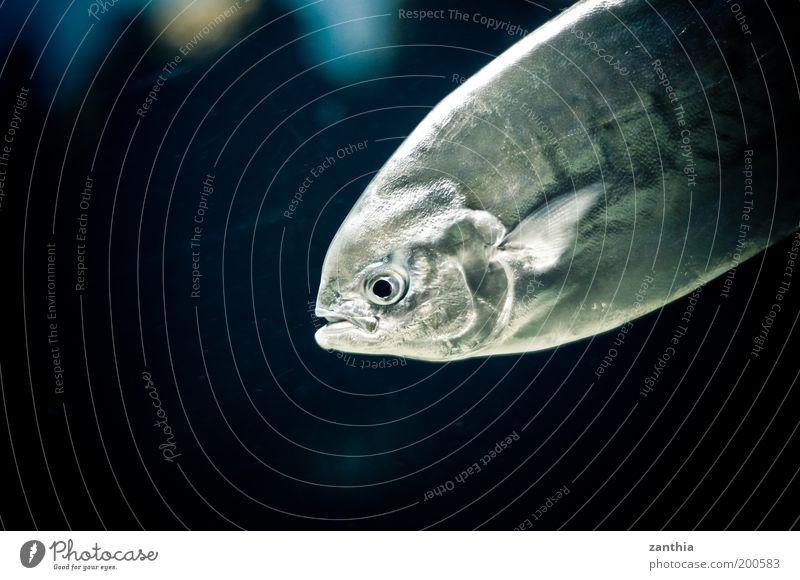 Fisch Meer Umwelt Natur Tier Tiergesicht Schuppen Aquarium 1 Blick blau schwarz silber weiß Umweltschutz Farbfoto Gedeckte Farben Innenaufnahme Nahaufnahme