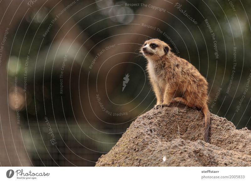 Erdmännchen, Suricata suricatta Tier Wildtier Tiergesicht 1 wild braun gold Tierwelt Beutetier herausschauen Manguste Kalahari Afrika Namibia Botswana Farbfoto