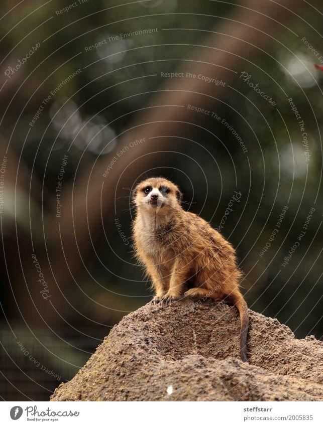 Erdmännchen, Suricata suricatta Tier Wildtier 1 wild braun Tierwelt Beutetier herausschauen Manguste Kalahari Afrika Namibia Botswana Farbfoto Menschenleer