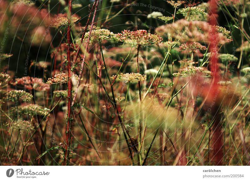 wilde Wiese Umwelt Natur Landschaft Pflanze Gras Sträucher Grünpflanze Wildpflanze grün rosa rot Unkraut natürlich Wiesenblume Doldenblütler Bärenklau