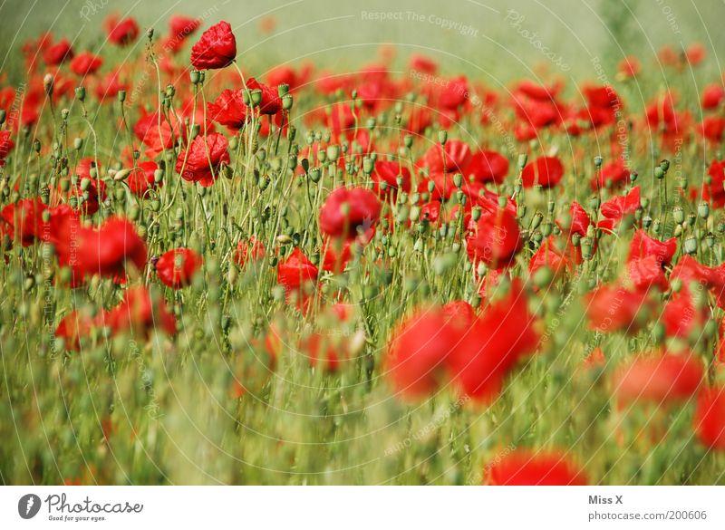 Mohnfeld Sommer Umwelt Natur Pflanze Blume Blüte Nutzpflanze Wiese Feld Blühend rot Farbe Mohnblüte Blumenwiese opium Rauschmittel Farbfoto mehrfarbig