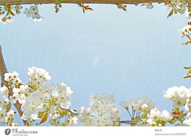 Frühlingsgrüße Natur schön Himmel weiß blau ruhig Blüte Feste & Feiern Perspektive Ecke Romantik Frieden Kitsch Duft Nostalgie Blütenknospen
