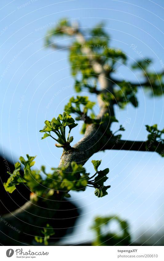 Ginkgo biloba Natur Himmel Sonnenlicht Frühling Schönes Wetter Baum Blatt Garten frisch schön braun grün Lebensfreude Frühlingsgefühle Farbfoto Außenaufnahme