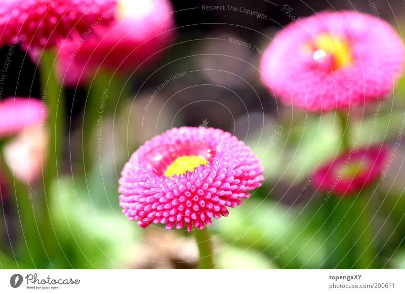 """Gänseblümchen - """"Rob Roy"""" Natur Pflanze Sonne Frühling Blume Gras Blüte Wiese niedlich rosa Außenaufnahme Makroaufnahme Licht Schatten Silhouette Sonnenstrahlen"""