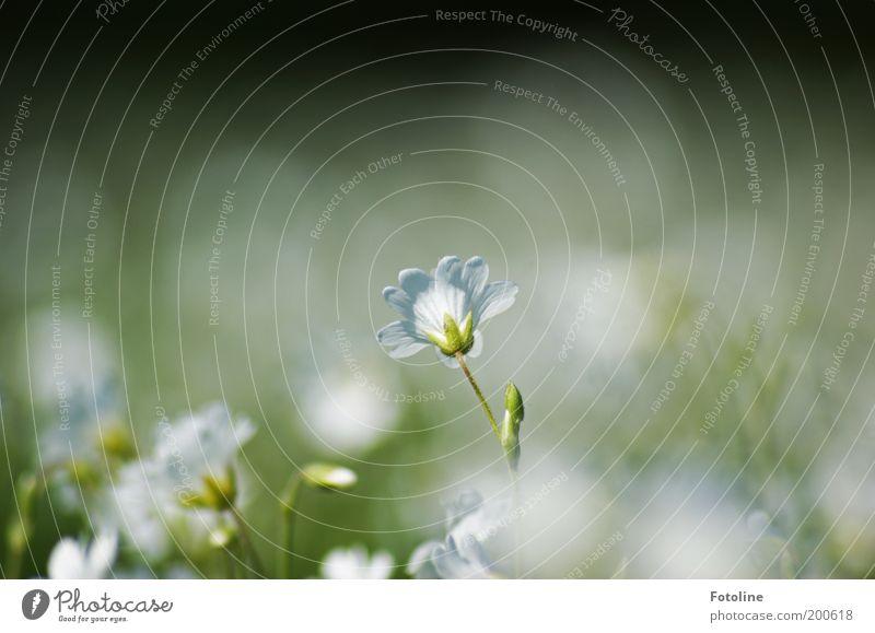 Wie ein Traum Natur weiß Blume grün Pflanze Blüte Frühling Wärme Landschaft hell Umwelt weich Blütenblatt Unschärfe