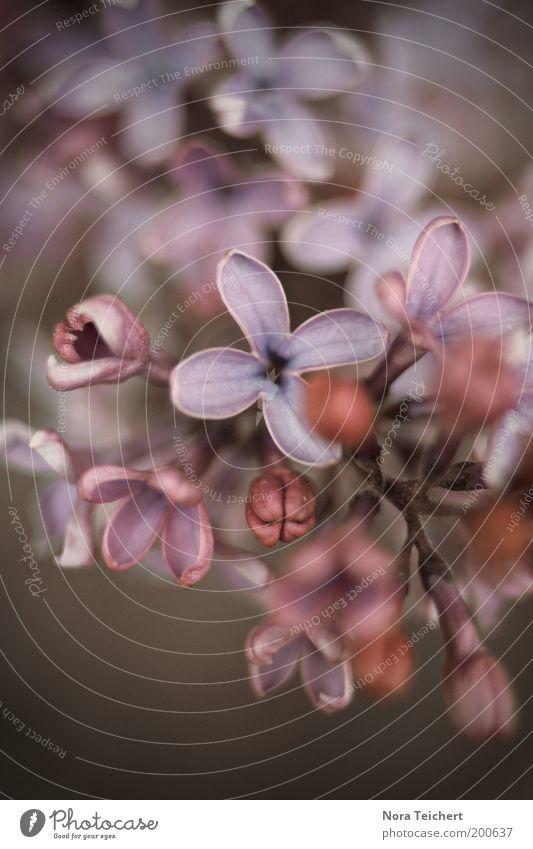 Fliederzauber I Umwelt Natur Landschaft Pflanze Frühling Sommer Schönes Wetter Baum Sträucher Blüte Wildpflanze Fliederbusch Blühend Wachstum ästhetisch blau