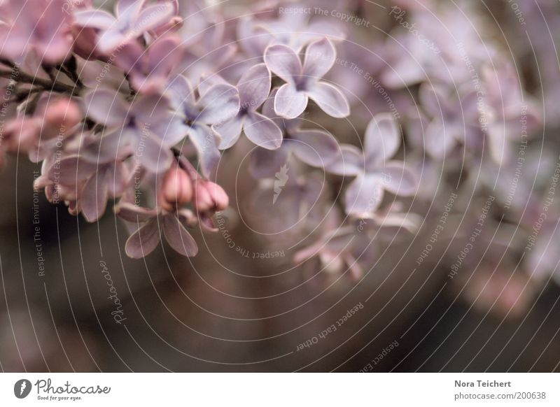 Fliederzauber II Natur blau Pflanze schön Sommer rot Freude Umwelt Frühling Blüte Glück Garten Stimmung rosa Park Wachstum