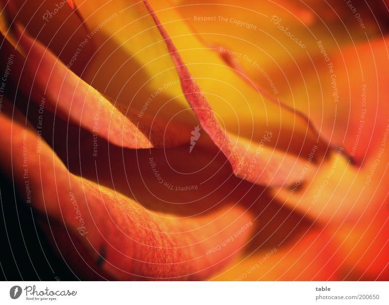 Rose Natur schön Pflanze rot Blume gelb Farbe Gefühle Blüte orange elegant gold ästhetisch natürlich Rose einzigartig