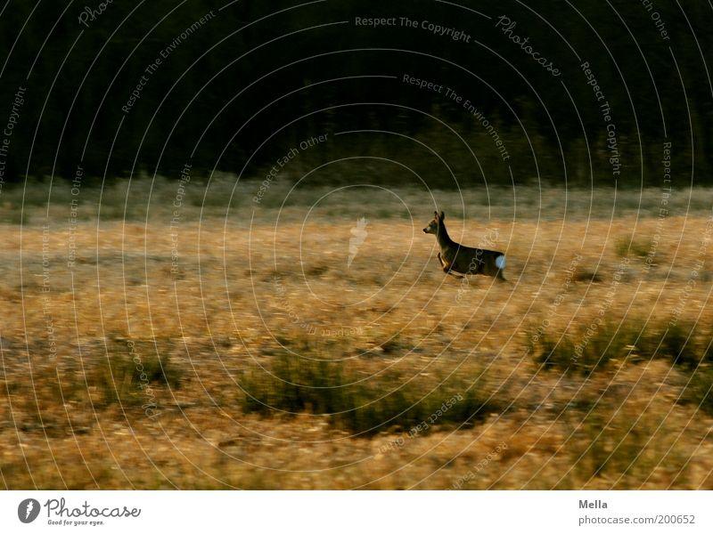 Geschwindigkeit ist keine Hexerei Umwelt Natur Landschaft Tier Wiese Feld Wald Wildtier Reh 1 rennen Bewegung laufen frei natürlich braun Stimmung Freiheit