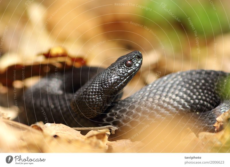 schöne schwarze europäische Addierer Frau Erwachsene Natur Tier Wald Schlange natürlich wild gefährlich Natter Vipera giftig Europäer Tierwelt allgemein Reptil