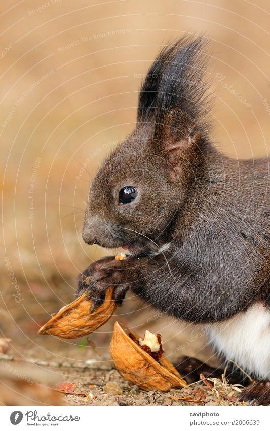 niedliches kleines rotes Eichhörnchen, das Nuss isst Natur schön Tier Wald Essen lustig natürlich Garten grau braun wild Park sitzen Aussicht