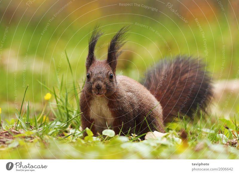 Süßes Eichhörnchen im Park Natur Farbe grün rot Tier Wald lustig natürlich Gras klein grau braun wild sitzen Lächeln