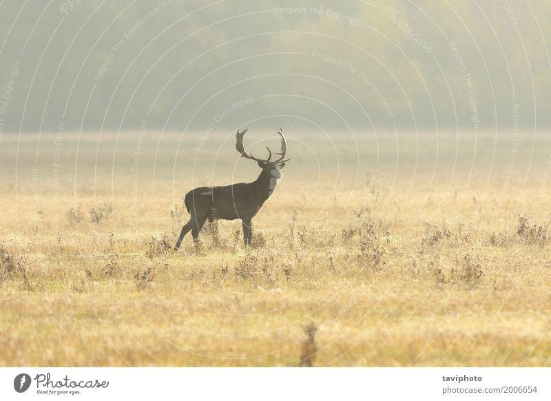 Damhirschdollar, der morgens auf Rasen geht schön Spielen Jagd Mann Erwachsene Natur Landschaft Tier Herbst Nebel Gras Park Wiese Wald groß natürlich wild braun