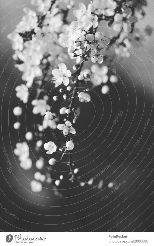 #A# Frühling SW Kunst ästhetisch Frühlingsgefühle Frühlingsblume Frühlingstag Schwarzweißfoto Kirschblüten Blühend Blühende Landschaften dezent Natur