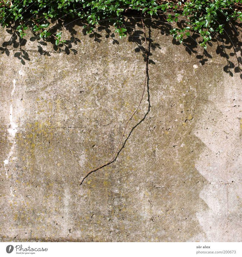 Pottschnitt Natur Pflanze grün Wand Hintergrundbild Mauer grau Wachstum Beton Ast Schutz Sicherheit hässlich bewachsen Farblosigkeit Betonwand