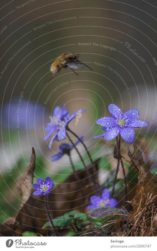 Landeanflug aufs Leberblümchen Umwelt Natur Landschaft Pflanze Tier Frühling Sommer Gras Moos Blatt Blüte Wildpflanze Garten Park Wald Wildtier Fliege Käfer 1