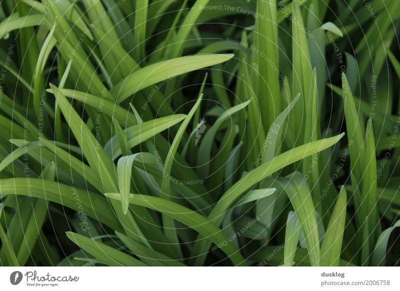 frisches grünes Gras II Umwelt Natur Landschaft Pflanze Erde Frühling Sommer Blume Blatt Garten Park Wiese authentisch frei Freundlichkeit Gesundheit