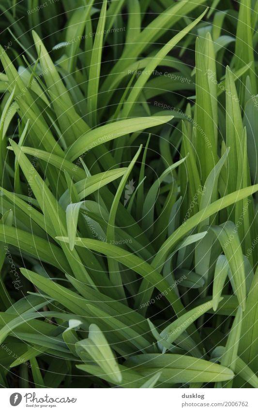 frisches grünes Gras I Natur Landschaft Pflanze Erde Frühling Sommer Blatt Nutzpflanze Wildpflanze Garten Park Wiese Feld Frühlingsgefühle Optimismus Vertrauen