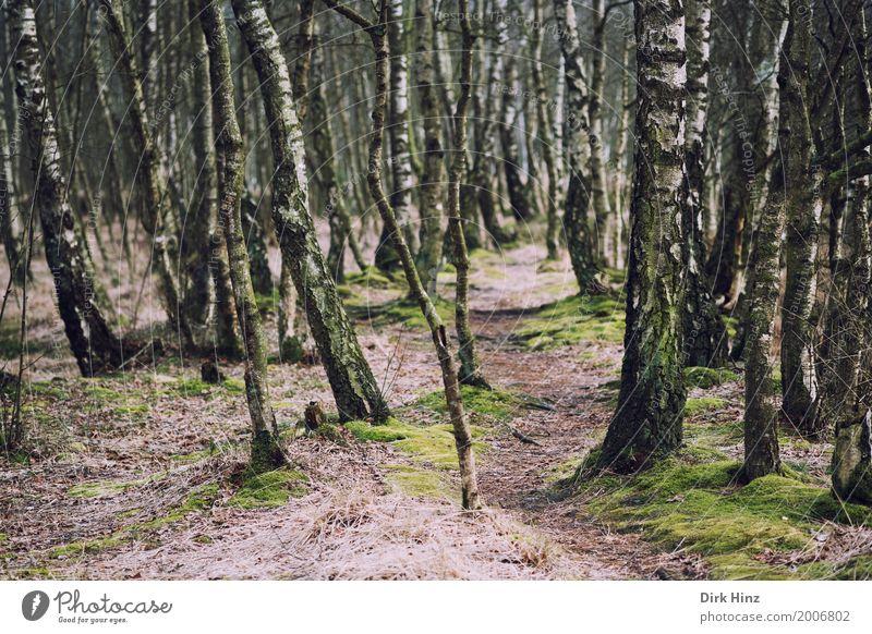 Pfad im Birkenwald Natur Pflanze grün Landschaft ruhig Wald Fußweg Umweltschutz Geborgenheit ökologisch Sumpf Naturschutzgebiet Moor Biologie ursprünglich