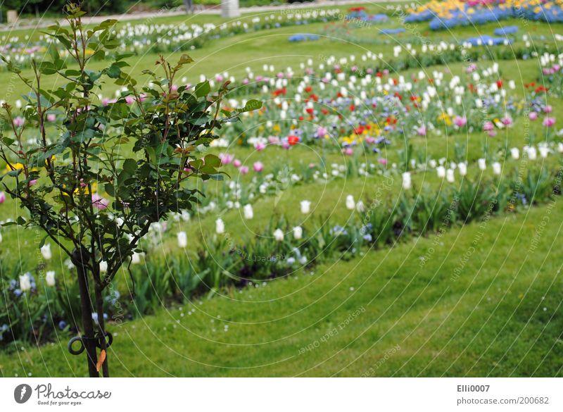 Blumenparadies Natur Baum Pflanze Farbe Wiese Gras Frühling Park Design elegant Rose Duft Tulpe Beet Landschaft