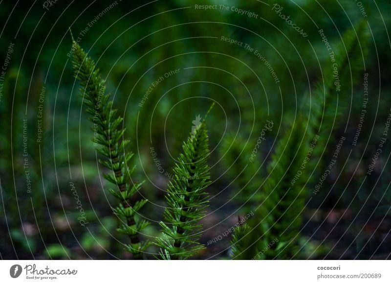 verschachtelte Halme Natur schön grün Pflanze Wachstum natürlich Märchenlandschaft Schachtelhalm