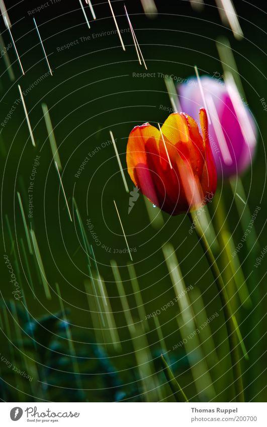 Tulpe unter Beschuss Natur Wasser schön Blume grün Pflanze rot Blüte Frühling Garten Regen rosa Wetter Wassertropfen nass frisch