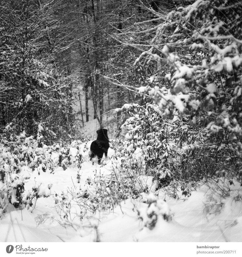 Dahinter die Freiheit Natur Winter Einsamkeit Tier Wald Schnee Hund beobachten wild Sehnsucht Fell analog Neugier Fernweh Haustier Aktion