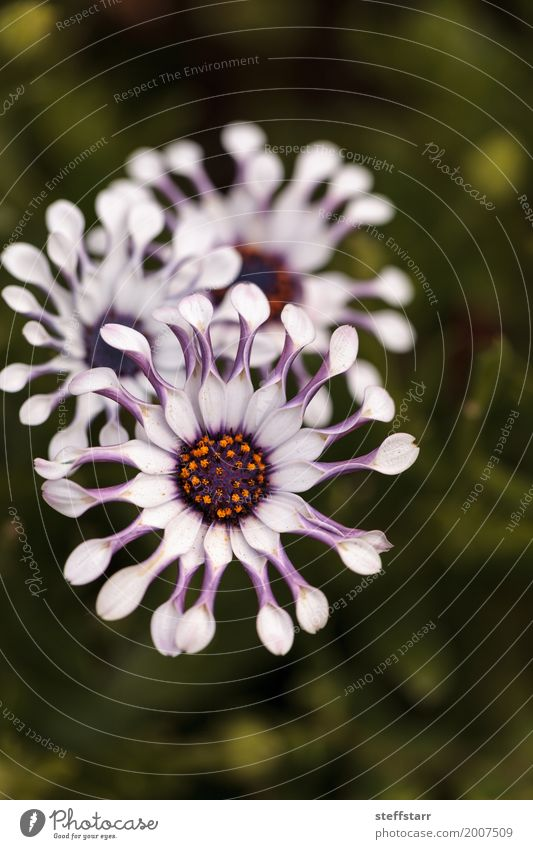 Osteospermum Whirligig Gänseblümchen Garten Natur Pflanze Blume Blüte Wiese grün violett rosa Blütenblatt purpur gezwickte Blütenblätter Frühling Wiesenblume